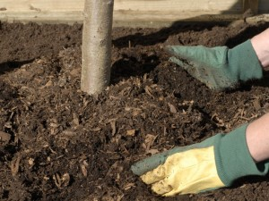 Backfill with soil and compost around roots
