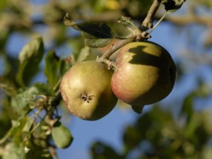 Growing apples
