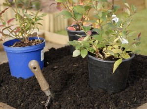 Growing different varieties of blueberries