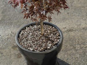 Planting shrub in a pot
