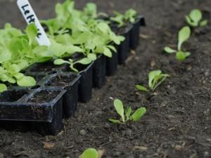Lettuce seed in modules
