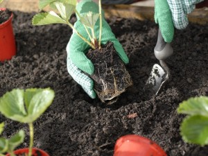 Planting strawberries