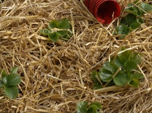 Straw around strawberry plants
