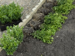 Planting a box hedge