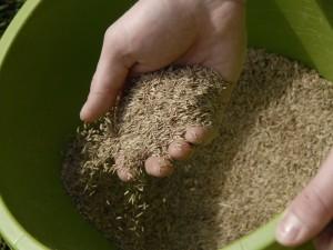 sprinkling grass seed