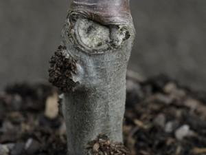 Apple tree graft
