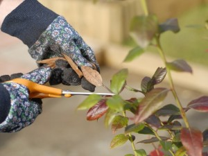 Removing dead leaves from blueberry bush