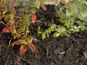 Mulching blueberry bushes