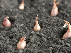 Growing shallots