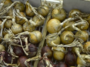 Drying onions, shallot and garlic