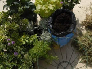 Choosing plants for hanging basket