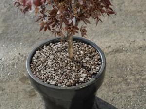 Planting shrub in a pot
