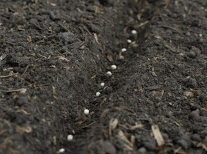 Sowing pea seeds