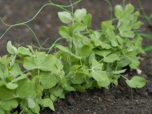 Pea plants growing