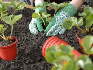Planting strawberries level with soil